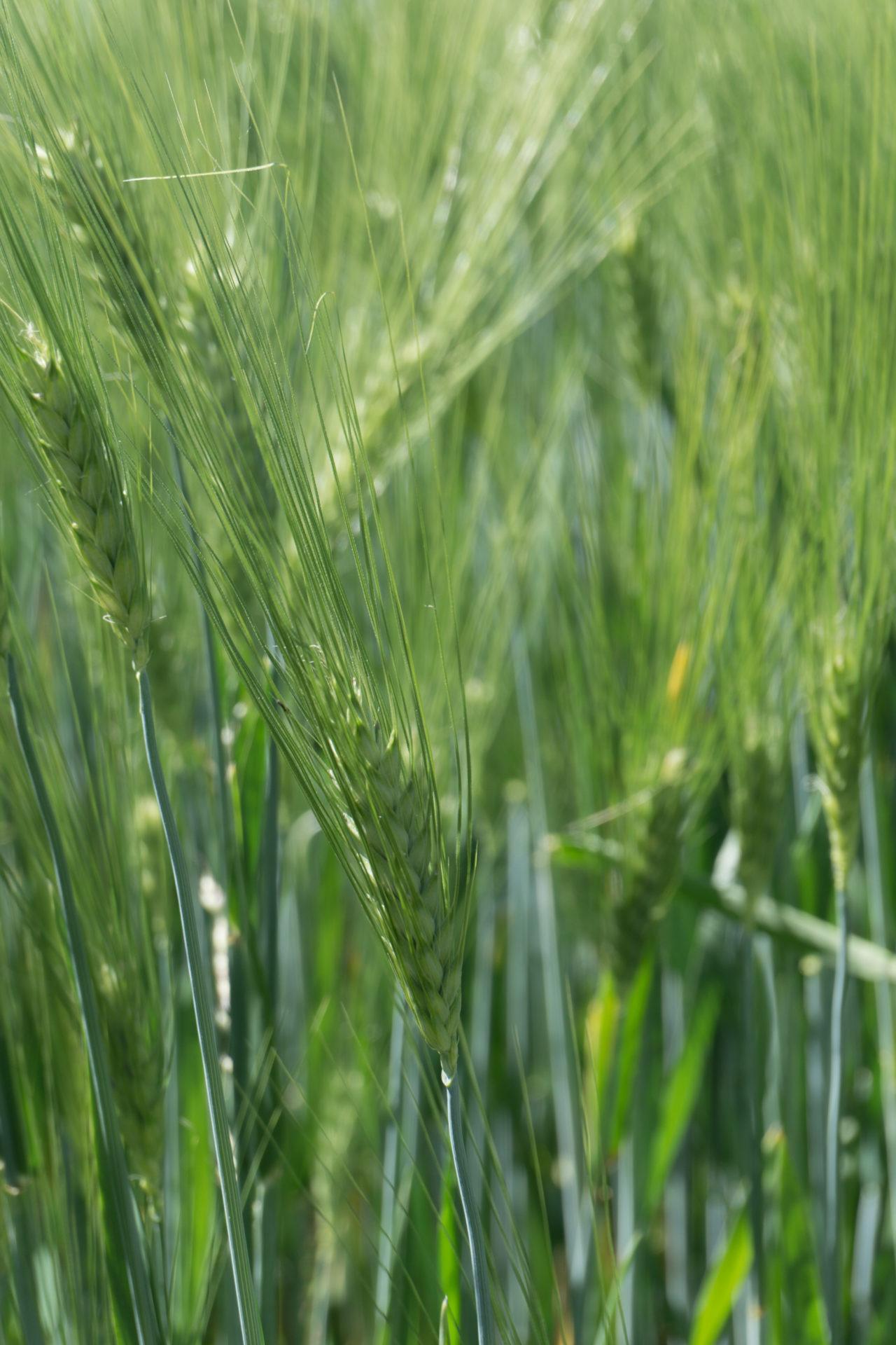 Bio Getreide